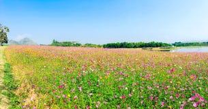 Ландшафт поля цветков космоса Стоковое Изображение