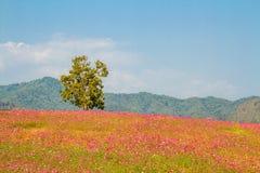 Ландшафт поля цветков космоса Стоковые Фото