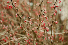 Ландшафт природы зимы ягоды красные ветвь кизильника с ягодами замерзано стоковая фотография