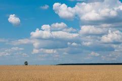 Ландшафт пшеницы стоковые изображения rf