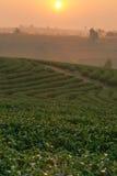 Ландшафт плантации на восходе солнца Стоковые Изображения