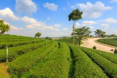 Ландшафт сада плантации зеленого чая, культивирование холма Стоковые Фотографии RF