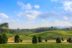 Ландшафт сада плантации зеленого чая, культивирование холма Стоковое Фото