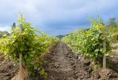 Ландшафт сельской местности, виноградник в Крыме Стоковая Фотография RF
