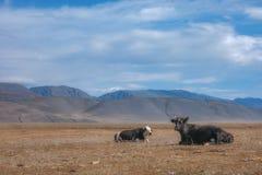 Ландшафт сельской местности осени при коровы пася на холмах в поле травы Стоковая Фотография