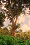 Ландшафт сиротливого дерева на холме с небом sepia Стоковое Изображение RF