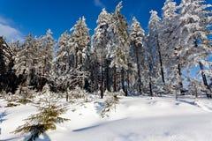 Ландшафт снега зимы, сосны, высокие фены, Бельгия Стоковое Изображение RF