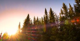 Ландшафт сосенки и солнца Стоковые Изображения