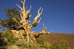 Ландшафт сосны Bristlecone Стоковая Фотография RF