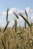 Ландшафт солнечности слепимости солнечных лучей пшеничного поля Стоковая Фотография