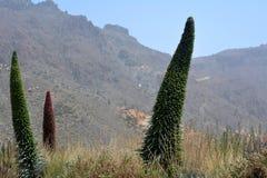 Ландшафт с вегетацией на национальном парке Тенерифе Гора Teide Канарские острова tenerife Испания Стоковые Изображения RF