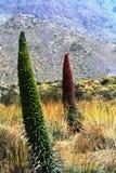 Ландшафт с вегетацией на национальном парке Тенерифе Гора Teide Канарские острова tenerife Испания Стоковое Фото