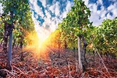 Ландшафт с виноградниками осени и органической виноградиной на заходе солнца Стоковые Фотографии RF
