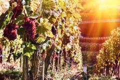 Ландшафт с виноградниками осени на заходе солнца Стоковая Фотография
