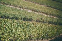 Ландшафт с виноградниками осени на холме Стоковое фото RF