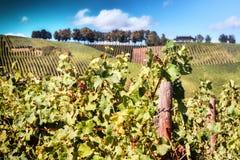 Ландшафт с виноградниками осени Стоковое фото RF
