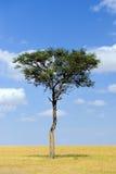 Ландшафт с деревом в Африке стоковые фотографии rf