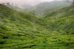 Ландшафт с зелеными полями чая в Шри-Ланке Стоковые Фотографии RF