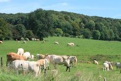 Ландшафт с коровами Стоковые Фотографии RF
