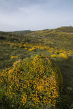 Ландшафт с кустарниками densus ulex Стоковая Фотография
