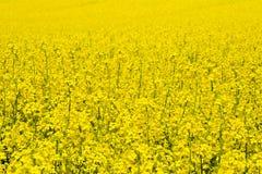 Ландшафт с полем рапса во время цвести Стоковые Фотографии RF