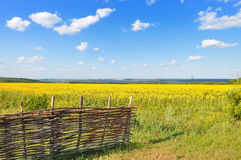 Ландшафт с полем солнцецветов Стоковое Изображение RF