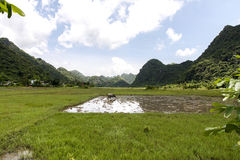 Ландшафт с полями риса и зелеными холмами Вьетнамом Стоковые Фото
