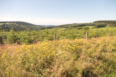 Ландшафт с плантацией сосны Стоковое Изображение