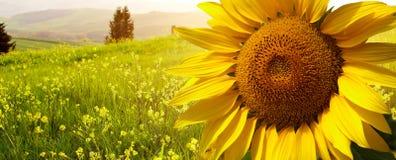 Ландшафт с солнцецветами в Тоскане, Стоковые Изображения