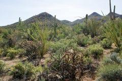 Ландшафт с цветя национальным парком Saguaro кактуса, Аризона, Стоковые Фотографии RF