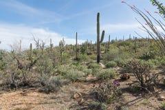 Ландшафт с цветя национальным парком Saguaro кактуса, Аризона, Стоковое Изображение RF