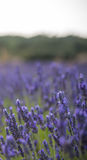 Ландшафт с blossoming lavander цветет на поле cutted для вертикального знамени Стоковые Фото