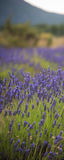 Ландшафт с blossoming lavander цветет на поле cutted для вертикального знамени Стоковое Изображение RF