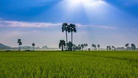 Ландшафт фермы риса и красивый промежуток времени солнечного луча акции видеоматериалы