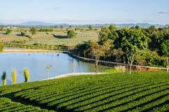 Ландшафт фермы чая Стоковые Фотографии RF