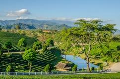 Ландшафт фермы чая Стоковое Изображение