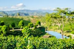 Ландшафт фермы чая Стоковая Фотография