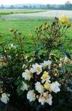 Ландшафт Франции сельский, куст роз Стоковая Фотография RF
