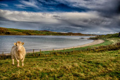 Ландшафт Donegal с коровой стоковые фото