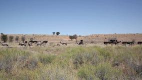 Ландшафт Gemsbuck и страусов сток-видео