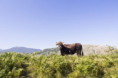 Ландшафт Pollino коровы Стоковые Изображения RF