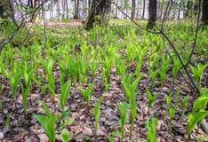 Ландыш волшебного яркого леса солнца весны красивый Стоковое фото RF