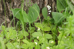 Ландыш, лилия долины Стоковое Изображение