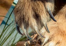 Лапка бурого медведя с острыми когтями стоковая фотография