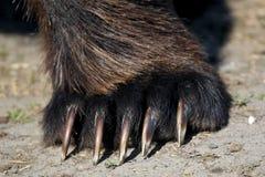 Лапка бурого медведя/когти Стоковое Изображение RF