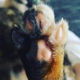 Лапка кота стоковые фотографии rf