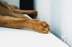 Лапка молодого абиссинского кота стоковые изображения