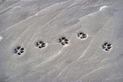 Лапка печатает собаки на пляже стоковая фотография