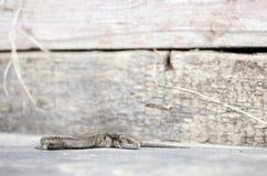 Лапка ящерицы лежа вверх Стоковое Изображение RF