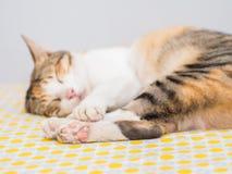 Лапка Striped сна кота на кровати Стоковые Изображения RF
